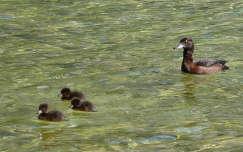 Kacsamama és kicsinyei a Königssee-n