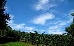 Magyarország, Zala megye, Tenke-hegy, szőlő