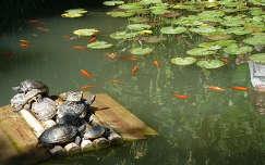 halas tó, tavirózsák, békák  az Arco-i botanikus kertben ( Italia)