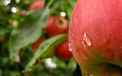 alma, vízcsepp, ősz