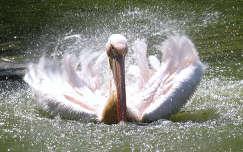 Pelikán fürdés