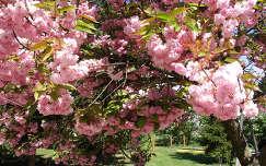 tavaszi virág virágzó fa japán cseresznye kertek és parkok tavasz