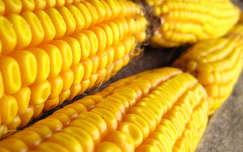 kukorica, ősz