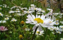tavaszi virág százszorszép