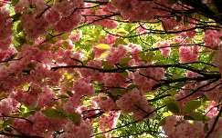 virágzó fa japán cseresznye