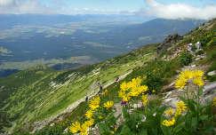 Magas Tátra,  útban a Kriván felé,  vadvirágok