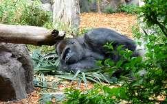 Pihenő gorilla, Tenerife, Kanári-szigetek