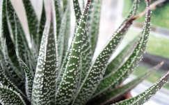 kaktusz agave