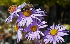 Méhecske az őszirózsán