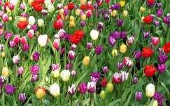 tulipán keukenhof