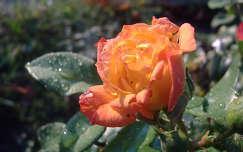 Rózsa ősszel. Fotó Csonki