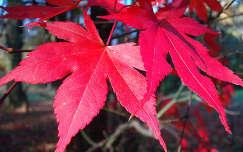 Szarvas - Arborétum (Pepikert) - ősz - őszi levelek  fotó: Kőszály