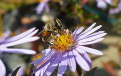 Őszirózsa és méh