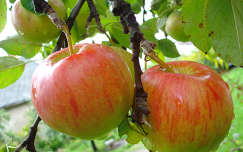 Nyári alma - Csór -   fotó: Kőszály