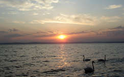 vizimadár hattyú tó naplemente balaton magyarország