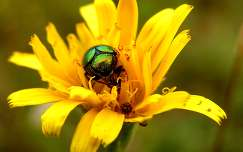 rovar rózsabogár