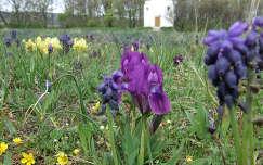 tavaszi virág fürtösgyöngyike virágmező írisz tavasz