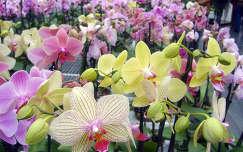 orchidea-kavalkád