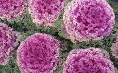 Káposzta virág. Fotó: Csonki