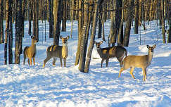 Őzek a téli erdőben