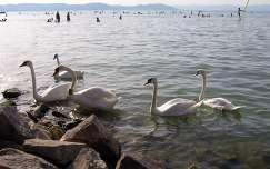 vizimadár hattyú tó balaton magyarország