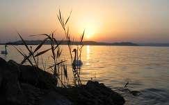 Hattyúk a naplementében