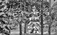 fenyő tél erdő karácsonyfa