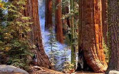 fenyő erdő örökzöld fa