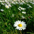 Virágmező