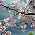 Virágzó gyümölcsfa eső előtt