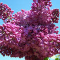 Egy szál orgonavirág a kertemből