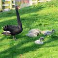 Nederland-Haarlem, zwarte zwaan , 6 kuikens