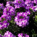 Nyári virág.Verbéna. Fotó: Csonki