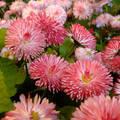 Rózsaszín százszorszép