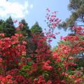 Magyarország, Jeli Arborétum, rododendron