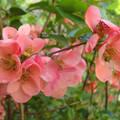japánbirs virága