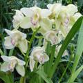 Orchidea esőben
