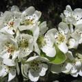 Almafa virágai
