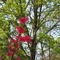 Tavaszi virágzó fa - japánbirs
