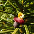 Tiszafa virágzása