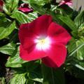 rózsameténg (Vinca Rosea)