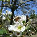 virágzó körtefa szorgalmas méhecskével