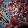 Magnolia, Edinburgh Botanic Garden