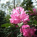 rododendron, /jeli-arborétum