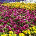 Virágmező a Margitszigeten