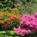 Rododendron , Lago Maggiore, Olaszország
