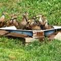 Fürdőznek a kacsák. Saját felvétel.