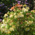 Rododendron, Jeli arborétum