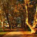 Kosaras platánsor Balatonalmádiban az Öreg parkban