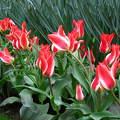 Holland-Lisse, KEUKENHOF 2014, Special tulip !